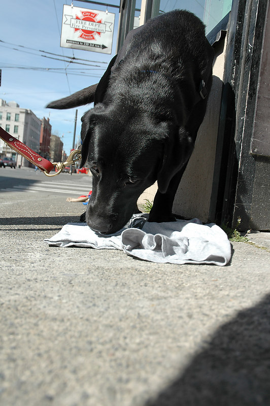 Henny the Fire Dog, new member of the Seattle Fire Department sniffs for excellerents in clothing.