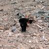 A boy picks through the rubble in Jenin.