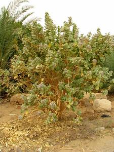 Virágzó fa Bagawat felé menet