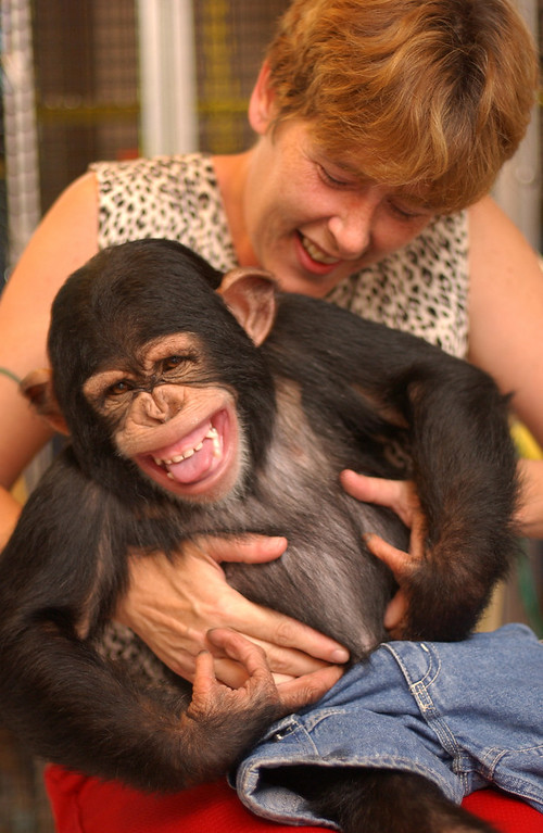 Judie Harrison, owner of Monkey Business tickling her 2 1/2 year old chimp Mikey, one of younger chimps that can be rented for parties and films. Her monkeys with in the house with her family. 9/15/04. Maximilian Franz/The Daily Record