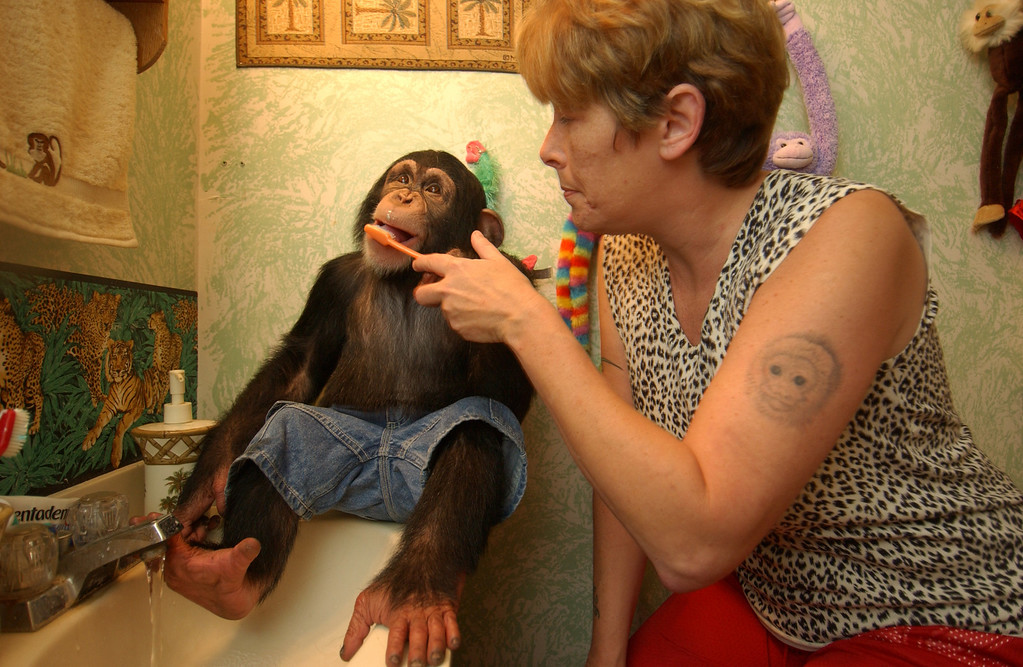 Judie Harrison, owner of Monkey Business teaching her 2 1/2 year old chimp Mikey to brush his teeth in the bathroom of her home. 9/15/04. Maximilian Franz/The Daily Record