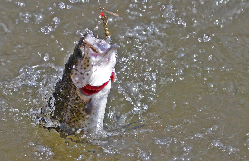 3.27.14- BALTIMORE, MD- A stocked trout bites the lure of Owings Mills resident Kevin Godfrey, and jumps from the water while being reeled in. (The Daily Record/Maximilian Franz)
