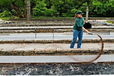 Missouri Department of Conservation agent Julie Fraley feeds trout at Roaring River State Park near Cassville, Missouri.  Photo by Kyle Spradley   www.kspradleyphoto.com