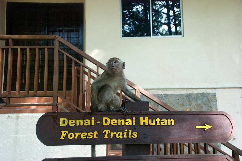 ...a young semi-socialized monkey named Nora in Bukit Nanas Forest Preserve.<br /> <br /> Kuala Lumpur, Malaysia