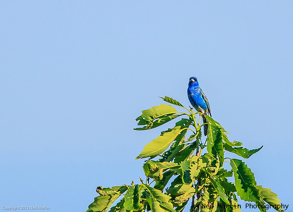 Indigo Bunting in the Treetop at Wintergreen