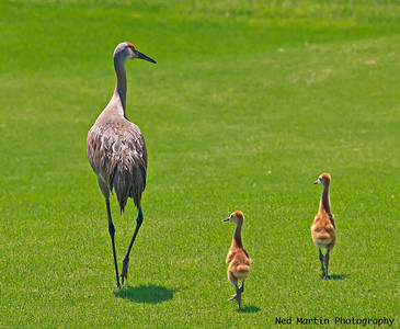 Sandhill Cranes, mom and babies on the golf course.
