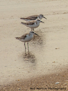 Sandpipers on the Beach, at Palm Beach, FL