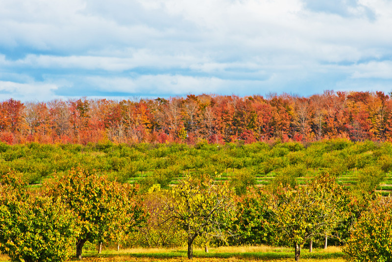 10.13.11 near Elk Rapids MI<br /> <br /> I was driving on highway 31 from Traverse City to Mackinaw City when I came across this cherry tree field. It was peak time for the fall colors in Michigan. I had already been through the U.P. all week shooting the autumn colors, I wasn't going to shoot anything this day but when I came across this landscape I had to stop. I'm glad I did, this ended up being my favorite shot of the week!