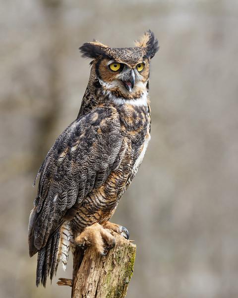 Great Horned Owl #3