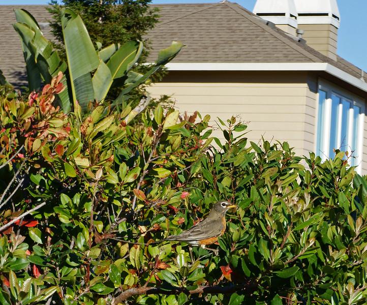 Robin on the bay in San Rafael