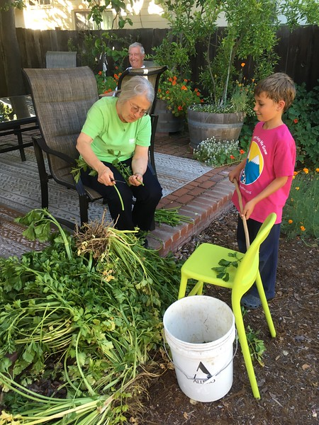 Sorting the overgrown celery with Oma