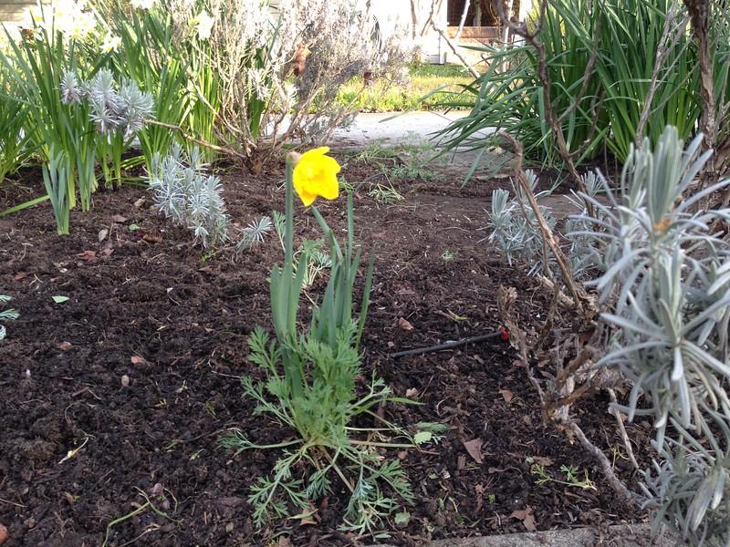 First daffodil of the season