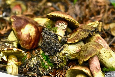 The boletus smithii genus has a widespread distribution, and contains about 300 species. Wikipedia