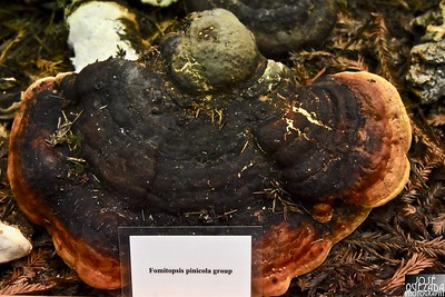 Fomitopsis pinicola, is a stem decay fungus. Its conk (fruit body) is known as the red belt conk.
