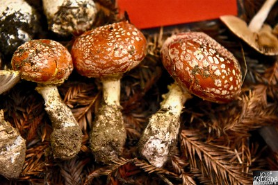 Amanita muscaria, commonly known as the fly agaric or fly amanita, is a basidiomycete of the genus Amanita. It is also a muscimol mushroom. Wikipedia