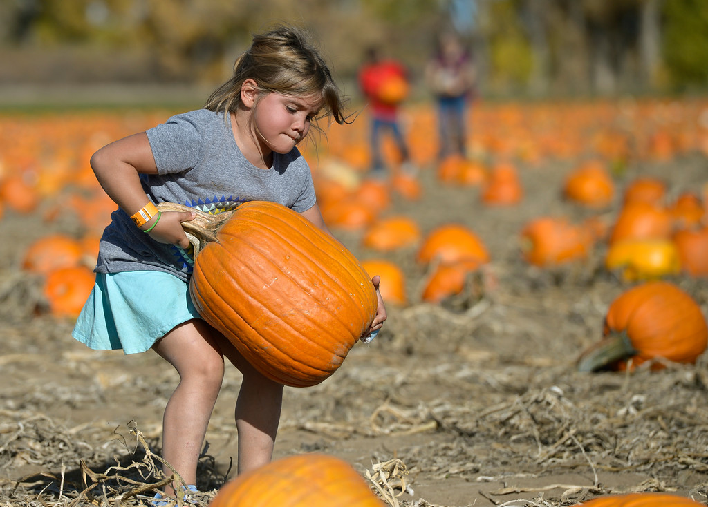. Chloe Kunitz, 6, of Parker, struggles to pick up a pumpkin she chose at Anderson Farms, 6728 County Road 3 1/4, Monday afternoon. Anderson Farms grows 75 varieties of pumpkins with about 300,000 available to be picked. To view more photos visit timescall.com. Lewis Geyer/Staff Photographer Oct. 16, 2017