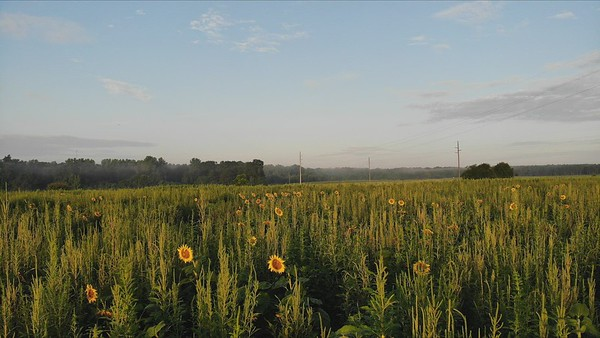 Sunflowers at Perry Dove Field 7-16-2021