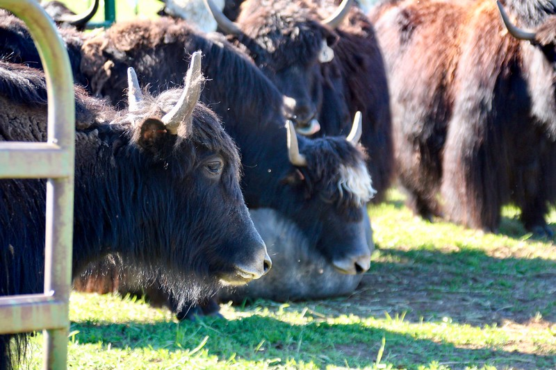 Yaks in the high country