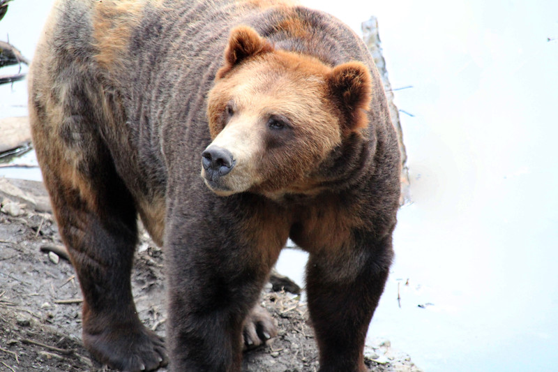 Fortress of the Bear-Sitka-jea