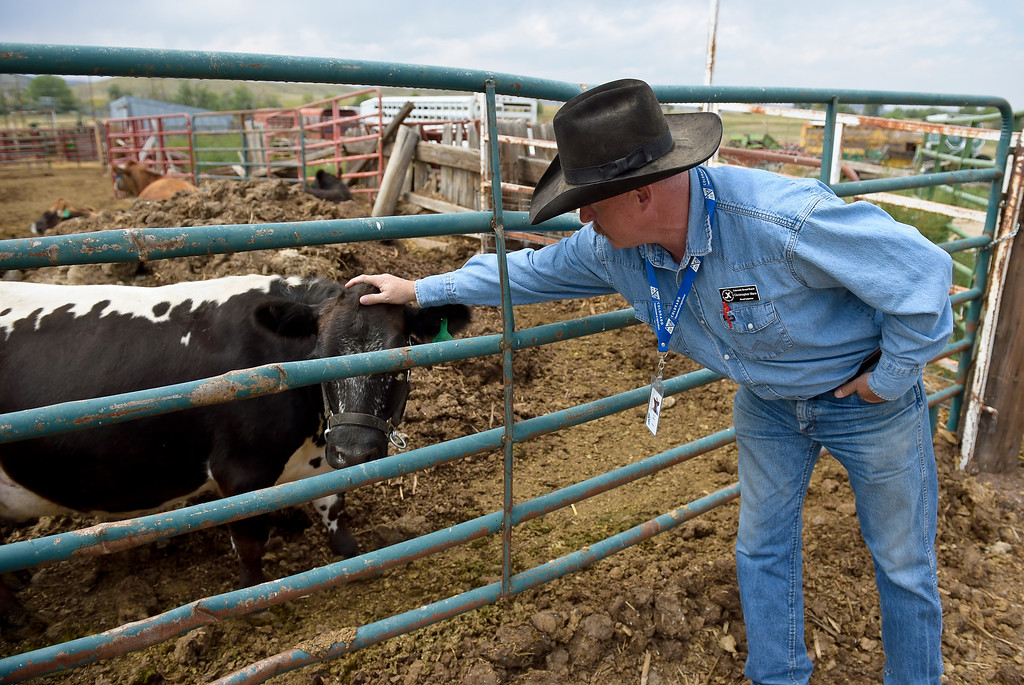 . LONGMONT, CO - AUG. 28, 2018: Brand inspector Chris Mace pets a cow while inspecting brands at Ida Hoffman\'s ranch Aug. 28. The Brand Inspection Division employs 58 brand inspectors located throughout the state including 10 supervisors. (Photo by Lewis Geyer/Staff Photographer)