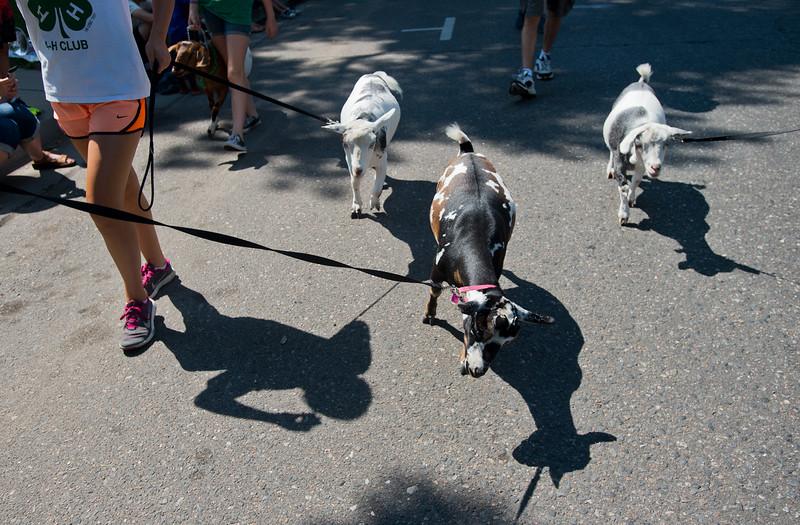 "Members of the Goats & Galore 4-H Club walk with goats during the Boulder County Fair Parade in Longmont on Saturday. <br /> More photos:  <a href=""http://www.dailycamera.com"">http://www.dailycamera.com</a><br /> (Autumn Parry/Staff Photographer)<br /> July 30, 2016"