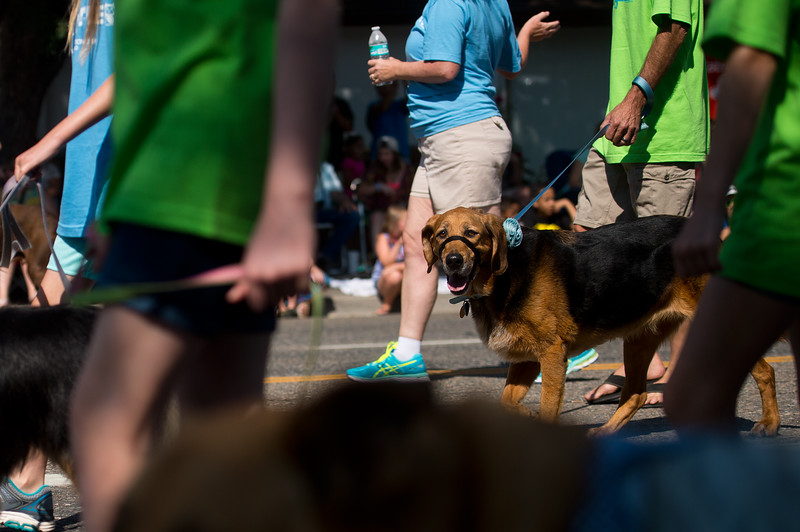 "A dog walks with members of MaxFund, Denver's no-kill animal shelter, during the Boulder County Fair Parade in Longmont on Saturday. <br /> More photos:  <a href=""http://www.dailycamera.com"">http://www.dailycamera.com</a><br /> (Autumn Parry/Staff Photographer)<br /> July 30, 2016"