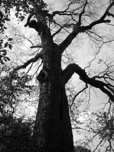 200 year old Pecan tree.