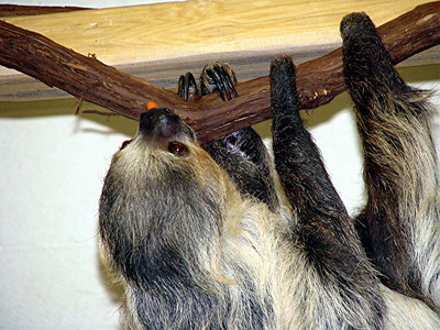 Julu, the two-toed sloth, decides to just hold on to his carrot for awhile.