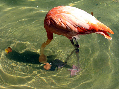 I've never seen a flamingo dunking around in the water. They were swimming and bobbing around...for once I was very entertained by them!