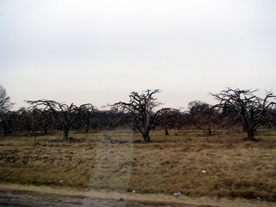 These are some weird looking tree we saw close to the Indiana border. People were picking things off them. Anyone know what they are?