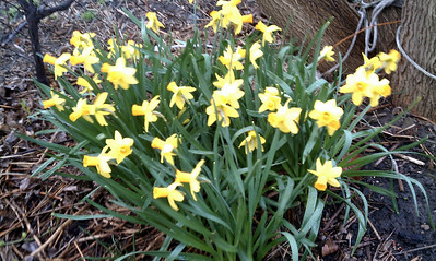 I somehow managed to miss taking pictures of my early daffs this year. I only have a couple of poor quality cell phone pics.