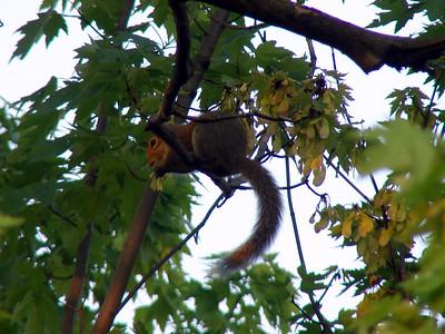 A House Squirrel?