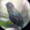 Starling in the new scope.
