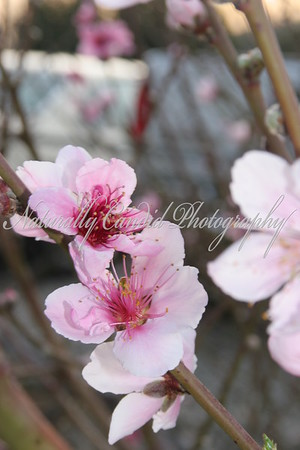 Nectarine Blossoms.