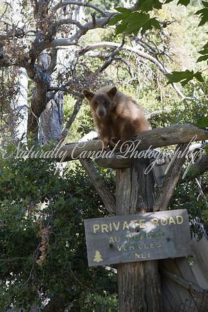 Black Bear in Southern California.