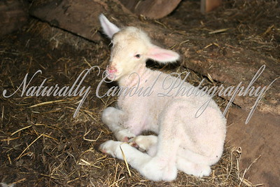 Newborn Lamb. Less than an hour old.