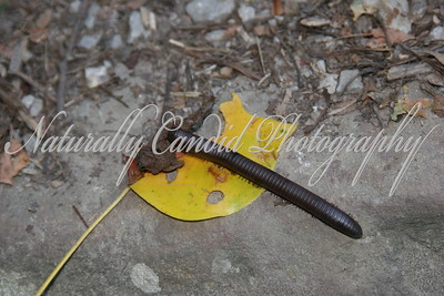Millipede on a leaf.