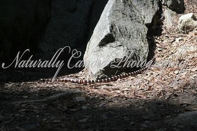 King Snake.