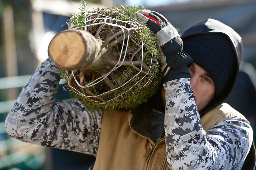 . LAFAYETTE CO - DECEMBER 4: Will Morgan helps unload a truck with Christmas trees at Cottonwood Farms along Isabelle Road, near U.S. 287, December 4, 2018. Cottonwood Farms sells many varieties including Noble, Nordman, Frasier and Douglas. (Photo by Lewis Geyer/Staff Photographer)