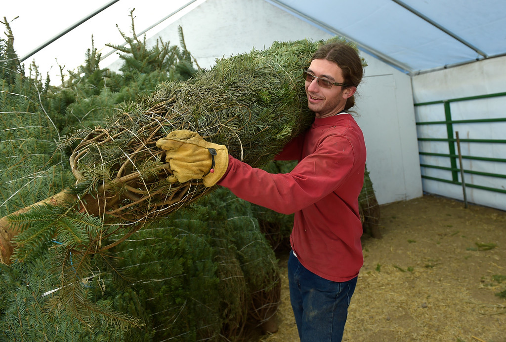. LAFAYETTE CO - DECEMBER 4: Leo Condon carries a Christmas tree to another shelter for storage at Cottonwood Farms along Isabelle Road, near U.S. 287, December 4, 2018. Cottonwood Farms sells many varieties including Noble, Nordman, Frasier and Douglas. (Photo by Lewis Geyer/Staff Photographer)