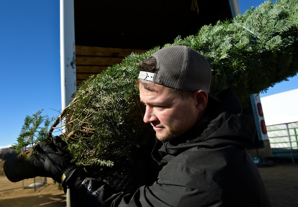 . LAFAYETTE CO - DECEMBER 4: Mike Heuer helps unload a truck containing Christmas trees at Cottonwood Farms along Isabelle Road, near U.S. 287, December 4, 2018. In addition to Nordman, Cottonwood Farms sells many varieties including Noble, Frasier and Douglas. (Photo by Lewis Geyer/Staff Photographer)