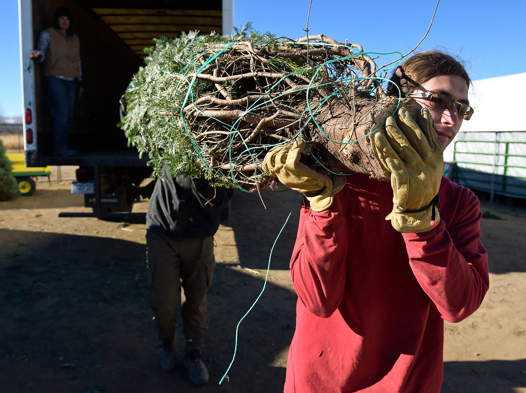 . LAFAYETTE CO - DECEMBER 4: Leo Condon, right, gets help from Mike Heuer while carrying a large Christmas tree at Cottonwood Farms along Isabelle Road, near U.S. 287, December 4, 2018. Cottonwood Farms sells many varieties including Noble, Nordman, Frasier and Douglas. (Photo by Lewis Geyer/Staff Photographer)