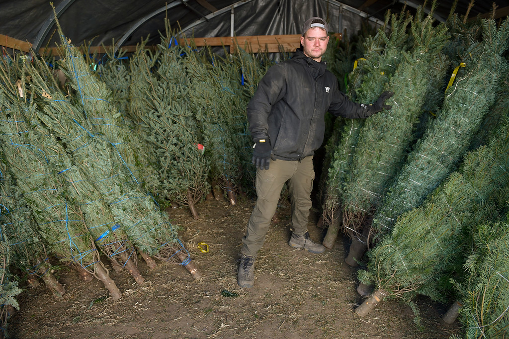 . LAFAYETTE CO - DECEMBER 4: Mike Heuer stacks freshly-shipped Nordman Christmas trees into a shelter at Cottonwood Farms along Isabelle Road, near U.S. 287, December 4, 2018. In addition to Nordman, Cottonwood Farms sells many varieties including Noble, Frasier and Douglas. (Photo by Lewis Geyer/Staff Photographer)