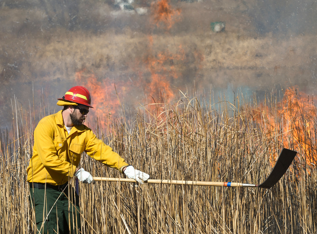 . LONGMONT, CO - MARCH 20: Open space employee Nate Schipper knocks down cattails during a controlled burn in the pond in front of the Rec Center at the Quail Campus March 20, 2019. The cattails were burned by Longmont fire fighters and natural resources/parks and open space employees to increase the holding capacity of the pond. Its water is used to irrigate the landscaping in the area. The cattails were not dry enough last fall when a previous controlled burn was attempted, according to information from the City of Longmont\'s web site. To view more photos visit timescall.com. (Photo by Lewis Geyer/Staff Photographer)