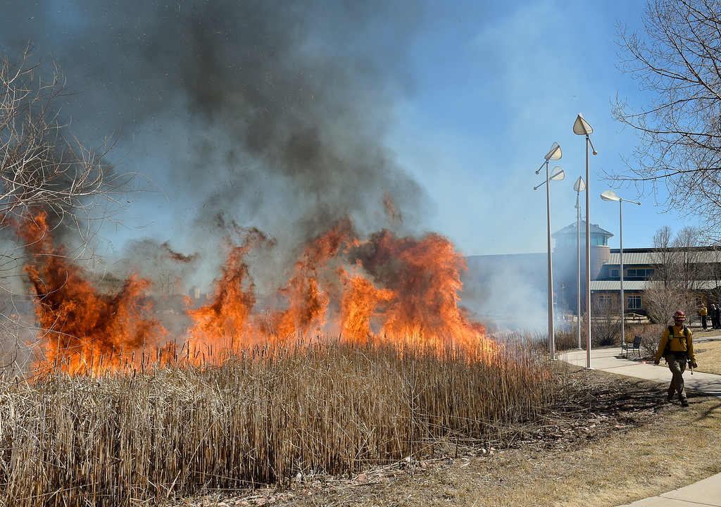 . LONGMONT, CO - MARCH 20: Longmont firefighter Matthew Horton ignites a controlled burn in the pond in front of the Rec Center at the Quail Campus March 20, 2019. The cattails were burned by Longmont fire fighters and natural resources/parks and open space employees to increase the holding capacity of the pond. Its water is used to irrigate the landscaping in the area. The cattails were not dry enough last fall when a previous controlled burn was attempted, according to information from the City of Longmont\'s web site. To view more photos visit timescall.com. (Photo by Lewis Geyer/Staff Photographer)
