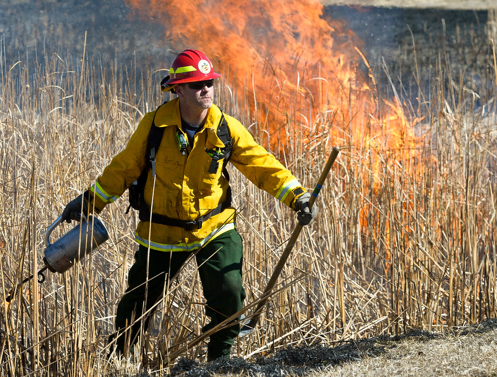 . LONGMONT, CO - MARCH 20: Firefighter Dave anaya uses a drip torch to ignite a controlled burn in the pond in front of the Rec Center at the Quail Campus March 20, 2019. The cattails were burned by Longmont fire fighters and natural resources/parks and open space employees to increase the holding capacity of the pond. Its water is used to irrigate the landscaping in the area. The cattails were not dry enough last fall when a previous controlled burn was attempted, according to information from the City of Longmont\'s web site. To view more photos visit timescall.com. (Photo by Lewis Geyer/Staff Photographer)