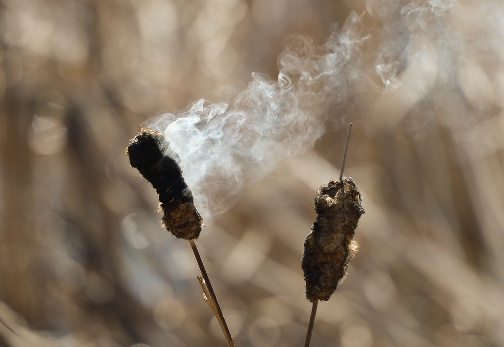 . LONGMONT, CO - MARCH 20: A smoking cattail after a controlled burn in the pond in front of the Rec Center at the Quail Campus March 20, 2019. The cattails were burned by Longmont fire fighters and natural resources/parks and open space employees to increase the holding capacity of the pond. Its water is used to irrigate the landscaping in the area. The cattails were not dry enough last fall when a previous controlled burn was attempted, according to information from the City of Longmont\'s web site. To view more photos visit timescall.com. (Photo by Lewis Geyer/Staff Photographer)