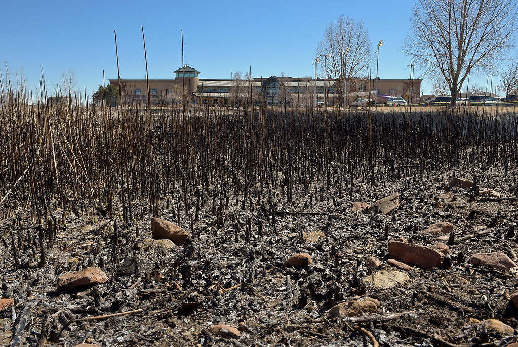 . LONGMONT, CO - MARCH 20: The charred remains after a controlled burn in the pond in front of the Rec Center at the Quail Campus March 20, 2019. The cattails were burned by Longmont fire fighters and natural resources/parks and open space employees to increase the holding capacity of the pond. Its water is used to irrigate the landscaping in the area. The cattails were not dry enough last fall when a previous controlled burn was attempted, according to information from the City of Longmont\'s web site. To view more photos visit timescall.com. (Photo by Lewis Geyer/Staff Photographer)
