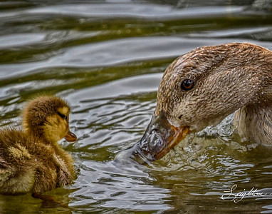 mother and duckling 11x14 signed