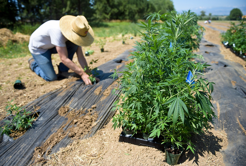 HEMP GROW IN LAFAYETTE